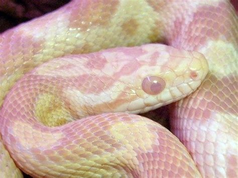 albino cornsnake in blue stage of shedding flickr