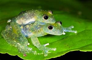 Mating blue glass frogs (Cochranella mache) | Thanks to ...