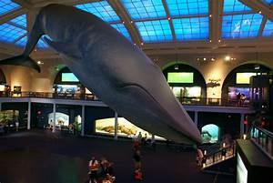 File:Blue Whale Nat'l Hist Museum.JPG - Wikipedia