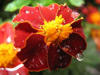 herb gardener  difference  french marigold