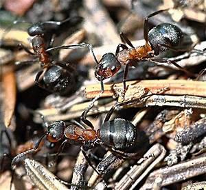 Wie Bekämpfe Ich Ameisen : seid wie die ameisen ich heute 10 vor 8 ~ Whattoseeinmadrid.com Haus und Dekorationen