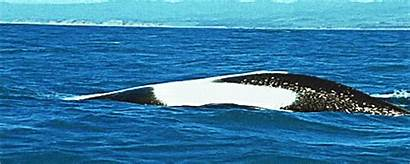 Whale Orca Killer Gifs Animated Whales Dolphins