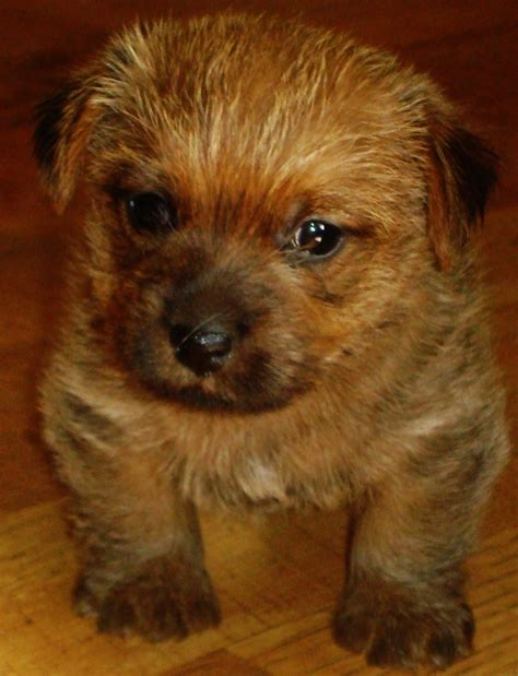 images  norfolk terrier  pinterest
