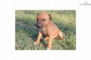Meet Male a cute Rhodesian Ridgeback puppy for sale for ...
