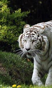 White Tiger HD Wallpaper | Background Image | 2400x1540 ...
