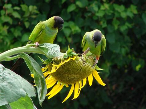 birds eating sunflower seeds sunflower seeds photo
