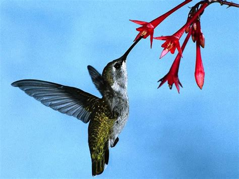 hummingbird getting nectar from a red flower birds photo