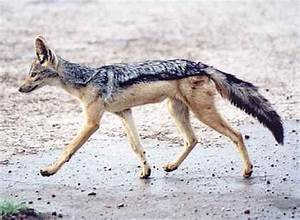Why not the black-backed jackal? | Natural History