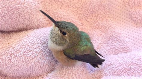 baby rufous hummingbird youtube
