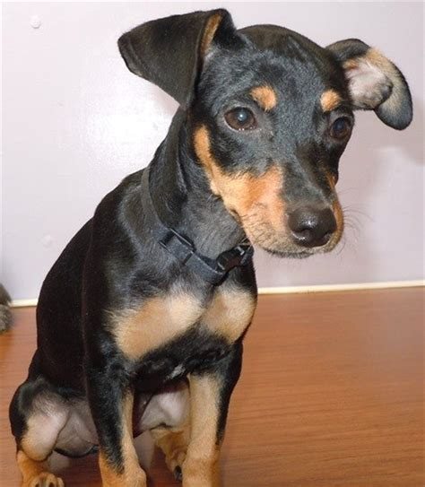 camry miniature pinscher humane society  dallas county