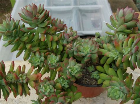 sedum succulent sedum cuspidatum world of succulents