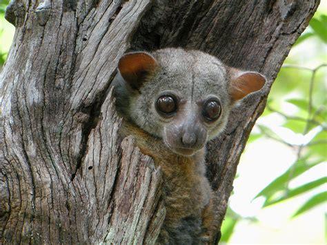 Milne Edwards Sportive Lemur Wikipedia