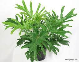ciri fisik tanaman hias philodendron merawatbungacom