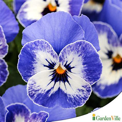 fiori le viole gardenville la citt 224 delle piante e dei fiori