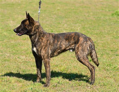 Dutch Shepherd Dog Info Temperament Puppies Training Pictures