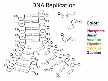 Dna Replication Worksheet Structure Helix Coloring Double
