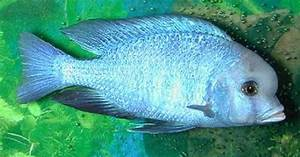 Rare African Cichlids | African Lake Malawi Cichlids ...