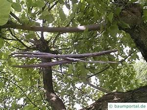 Baum Mit Langen Schoten : trompetenbaum catalpa bignonioides ~ Lizthompson.info Haus und Dekorationen