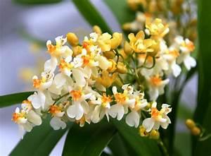 Jasmin Pflanze Pflege : blumen janke webshop detailansicht orchideen kreuzungen hybriden oncidium twinkle ~ Markanthonyermac.com Haus und Dekorationen
