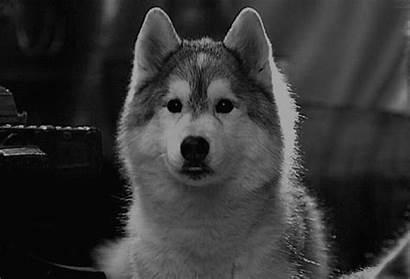 Malamute Gifs Husky Dog Wolf Pomeranian Nature