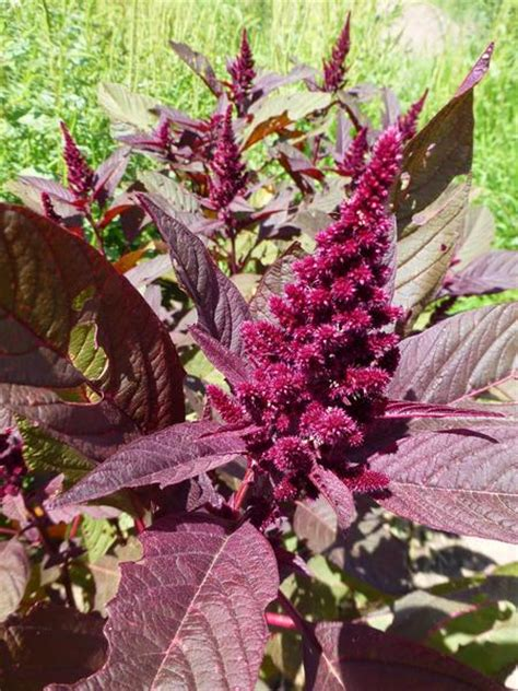 hopi red dye native seeds search