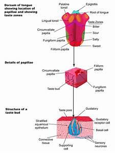 The Tongue Detects Taste Through Taste Receptors