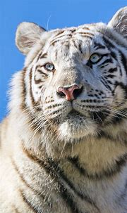 White tiger 4K Wallpaper, Bengal Tiger, Tigress, Blue sky ...