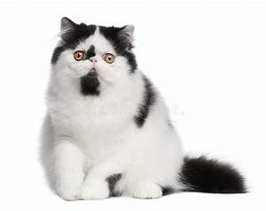 Black And White Persian Cat Sitting Stock Photo - Image of ...