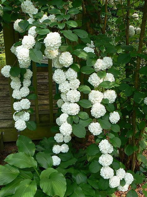 Gorgeous Climbing Hydrangea Is A Deciduous Vine That Is