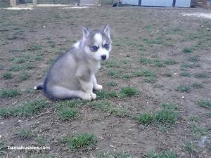 Our new Siberian husky puppy Siberian Husky Puppies For Sale