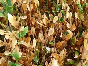 Zypresse Wird Braun : buchsbaum triebsterben cylindrocladium vorbeugen und ~ Lizthompson.info Haus und Dekorationen