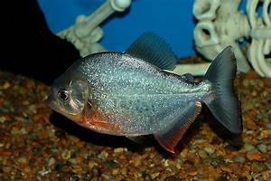 Piranha | Fun Animals Wiki, Videos, Pictures, Stories