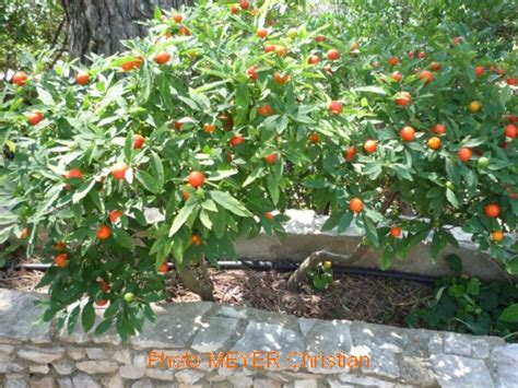 pommier d amour exterieur 28 images entretien des plantes laurionet pearltrees plantes