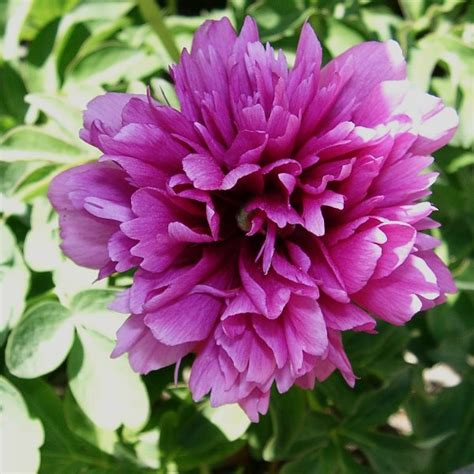 peony species peony species kismet fate and destiny process and research