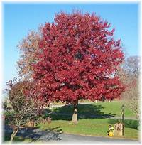 """front yard trees """"The Wisdom Of This World"""" 