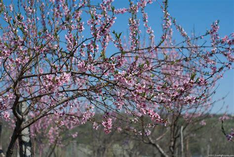 flowering trees flowering peach