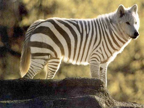 black and white striped zebra wolf chelsea grimsley flickr