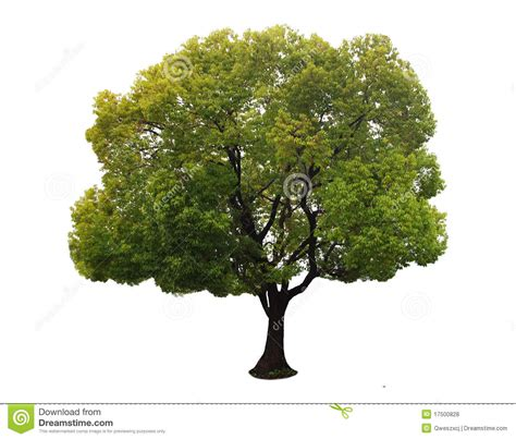 Tree Images No Background by A Tree With A White Background No14 Stock Photo Image Of
