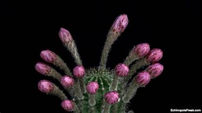 Flowers Flower Giphy Gifs Cactus Fiori Blooming