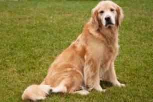 Senior Golden Retriever Dog