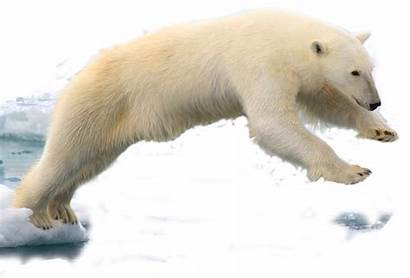 Polar Bear Edited Abdelhamid Commons Transparent Pluspng