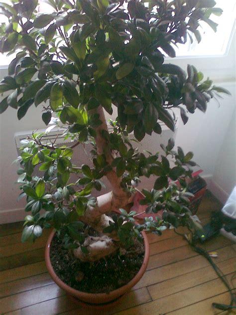 mon ficus ginseng et the substrat id 233 al mon bonsai ne va pas bien forums parlons bonsai
