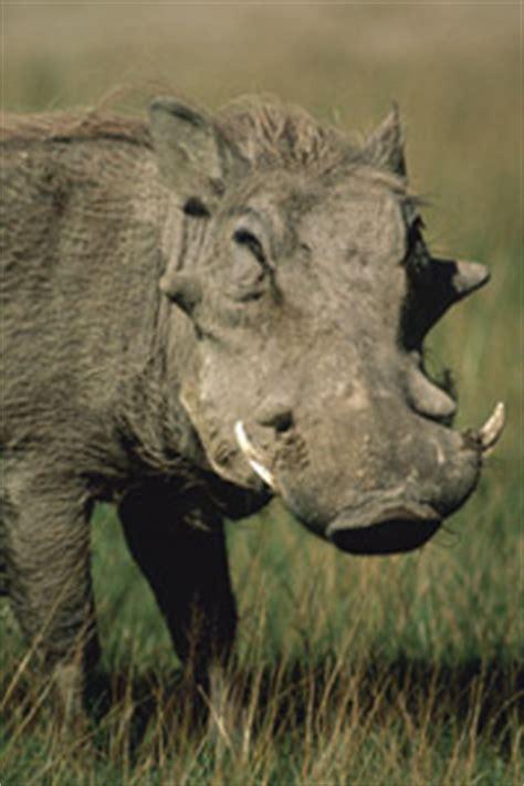 warthog warts  bigger   warthog warts