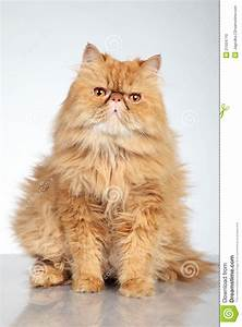 Ginger Persian Cat Stock Photo - Image: 21504710