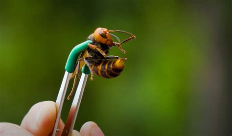 A man let a murder hornet sting him on purpose and the
