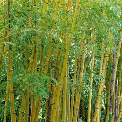 bambou moyen phyllostachys aurea plantes et jardins