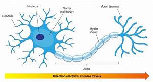 How Is A Neuron Adapted To Perform Its Function