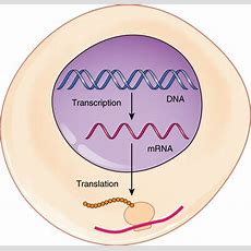 This Figure Shows A Schematic Of A Cell Where Transcription From Dna To Mrna Takes Place Inside