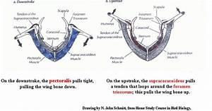 Bird Wing Muscles
