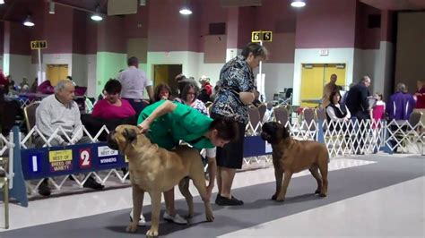 Bull Mastiff At Akc Dog Show